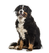 Bernese Mountain Dog  9 Years Old Sitting Against   Sticker