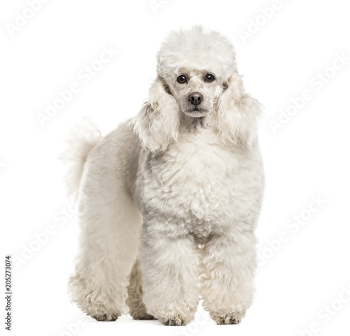 Poodle dog , 6 years old, in portrait standing against white background