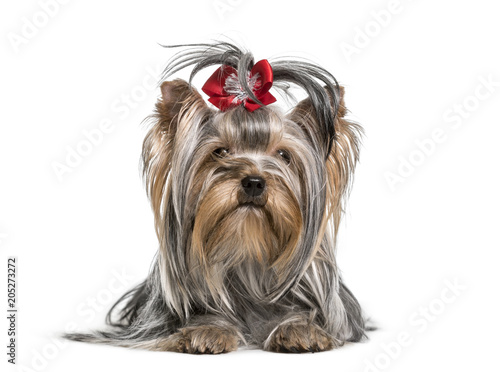 Yorkshire Terrier dog , 3 years, lying against white background