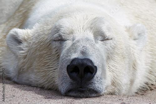 Aluminium Ijsbeer Polar Bear (Ursus maritimus)