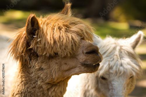 Aluminium Kameel Llama, Herd, Animals, Nature, Haircut, Farm