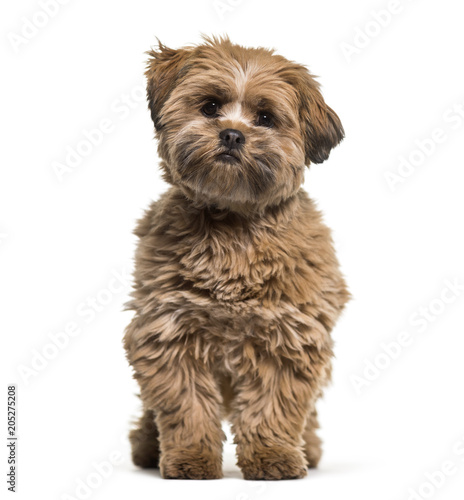 Lhasa apso dog, 8 months old, sitting against white background