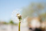Dandelion in the wind, airy white beautiful, meadow flower.
