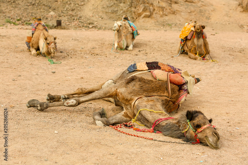 Fototapeta Bedouin camels laying on sand in Egyptian desert