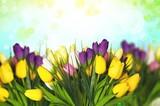Tulip. - 205289469