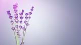 Lavender. - 205293646
