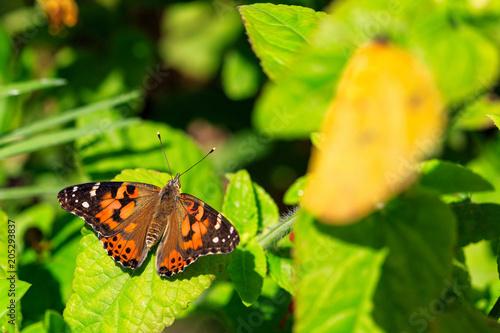 Plexiglas Vlinder Painted Lady Butterfly on Green Leaves