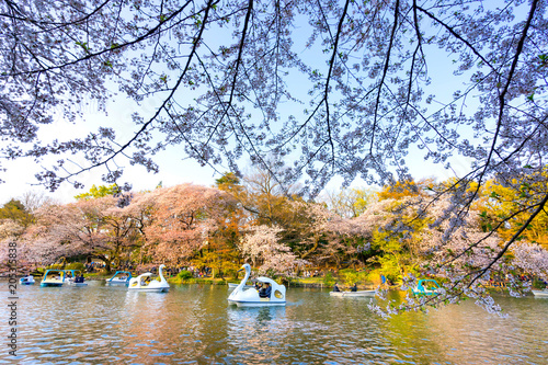 Tokyo, Japan - March 31, 2018 :Inokashira Onshi Park has about 460 cherry trees. This park is famous for cherry blossom spot.