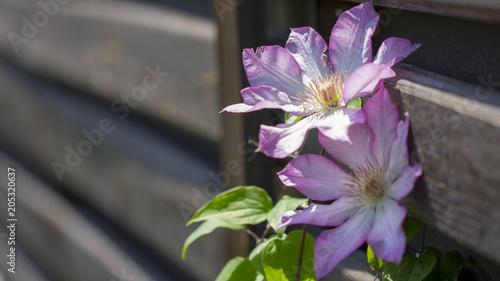 Blooms clematis blue purple flowers. - 205320637