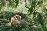 Lioness lying on the grass in the shade of a tree in African safari