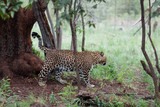 Leopard walking under the trees in African safari