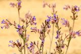 Anchusa officinalis. Planta con flores. Lengua de buey, Blugosa.