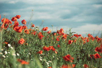 Poppies under the blue sky with clouds