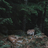 Lynx at forest. Bayerischer Wald national park, Germany.