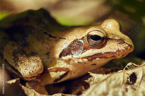 Plexiglas Kikker Closeup of a brown frog