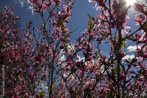Plexiglas Kyoto pink Sakura petals