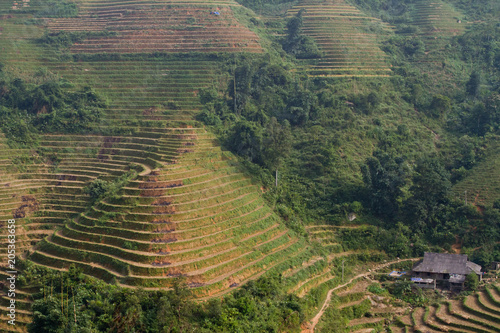 Plexiglas Rijstvelden Ricefields in harvesting season in the mountains near Sapa, in the North of Vietnam