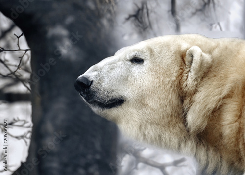 Plexiglas Ijsbeer Portrait of a white bear on a forest background, cloudy. Polar bear's head close to the profile