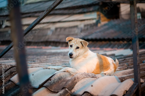 Canvas Bangkok Dog relaxing on roof Bangkok