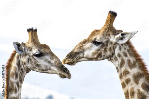 Fototapeta Portrait of two giraffes in Pilanesberg National Park in South Africa