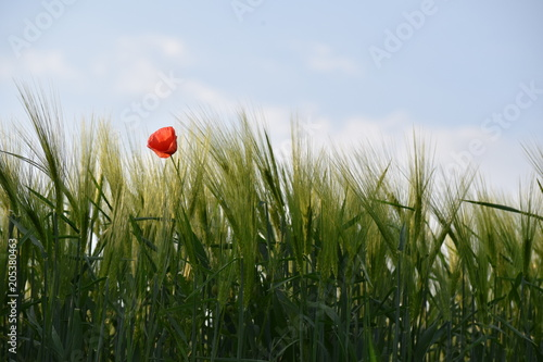 Plexiglas Klaprozen Blume im Getreidefeld