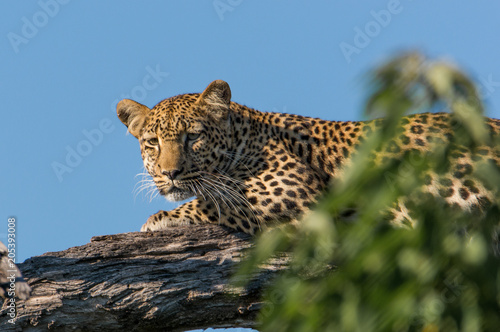 mata magnetyczna Leopard in a tree