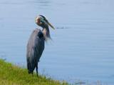 Blue Heron - 205394463