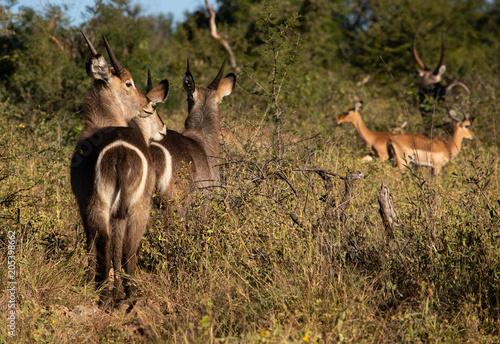 Fototapeta Waterbuck and impala
