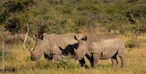 Wall mural Rhino and calf