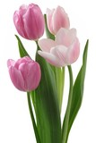 pretty tulips close up