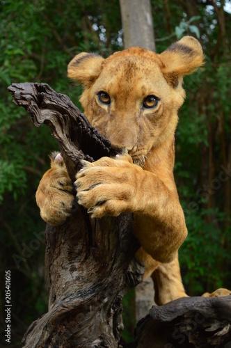 Obraz na płótnie young lion