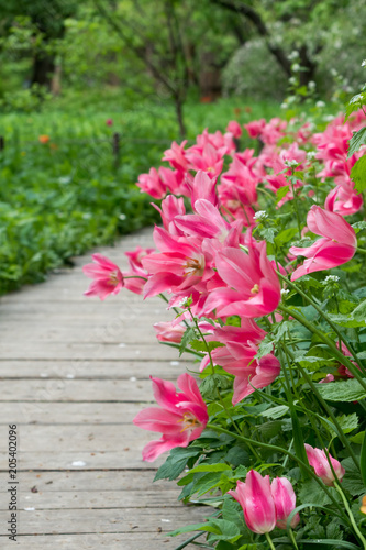Colorful tulips flowers blooming in the garden along the wooden flooring