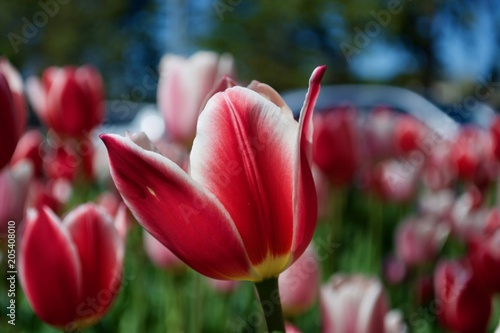 Foto Spatwand Crimson Beautiful pink and white tulips with green leaves. Spring