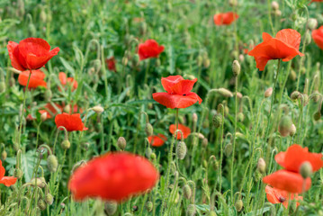 Poppy flowers on the spring field
