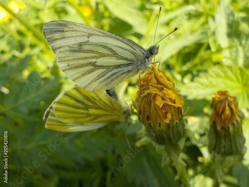 Plexiglas Vlinder бабочка гл.