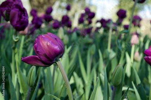 Plexiglas Olijf Beautiful pink tulip flowers with green leaves. Spring