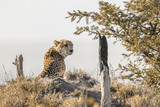 Cheetah in Kruger National park, South Africa - 205423464
