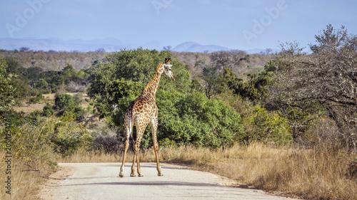 Fototapeta Giraffe in Kruger National park, South Africa