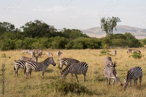 Fototapeta Zebras in Masai Mara