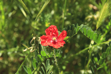 Timid small red flower. Poppy on a summer meadow.
