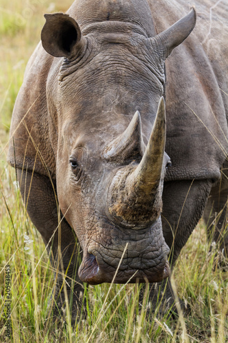 Fotobehang Neushoorn Portrait of a white rhino in Entabeni Private Game Reserve in the Waterberg Region in South Africa