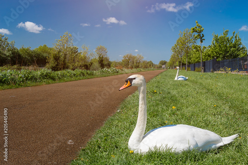 Fotobehang Zwaan Swan on the Royal Canal Park