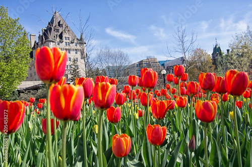Canvas Canada Full bloom red tulips in front Chateau Laurier in Ottawa, Ontario, Canada