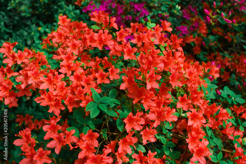 Plexiglas Rood traf. Beautiful background with red flowers