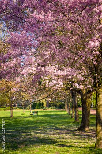 Fototapeta Cherry tree blossom. Beautiful nature scene with blooming tree