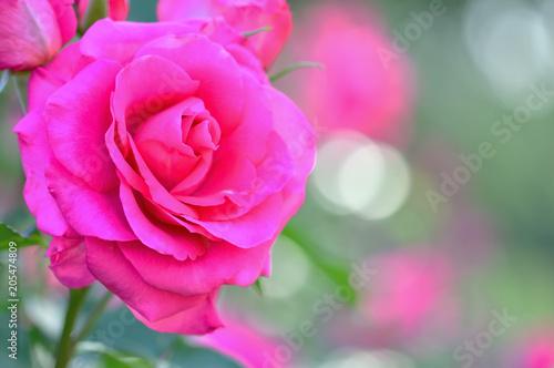 Aluminium Roze バラの花