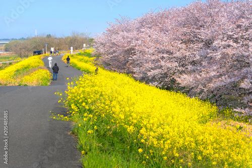 Plexiglas Geel Cherry blossoms and Rapeseed blooms at Kumagaya Arakawa Ryokuchi Park in Saitama,Japan.