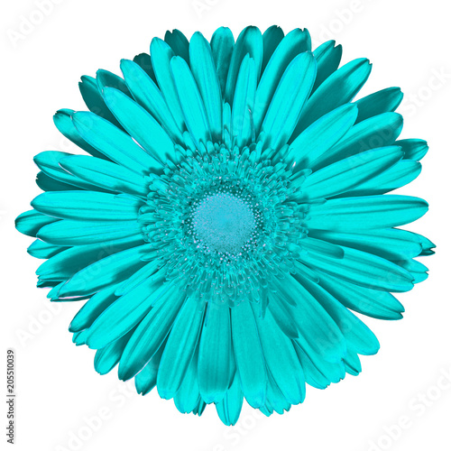 Fotobehang Gerbera Flower cyan Gerbera isolated on white background. Close-up. Macro. Element of design.