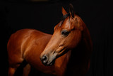 portrait of a beautiful horse on a black back drop