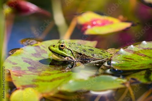 Plexiglas Kikker grenouille verte